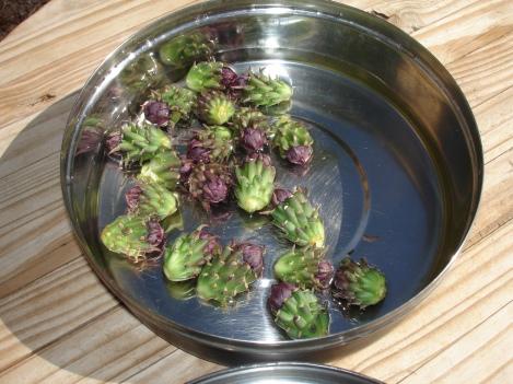 cholla buds ready