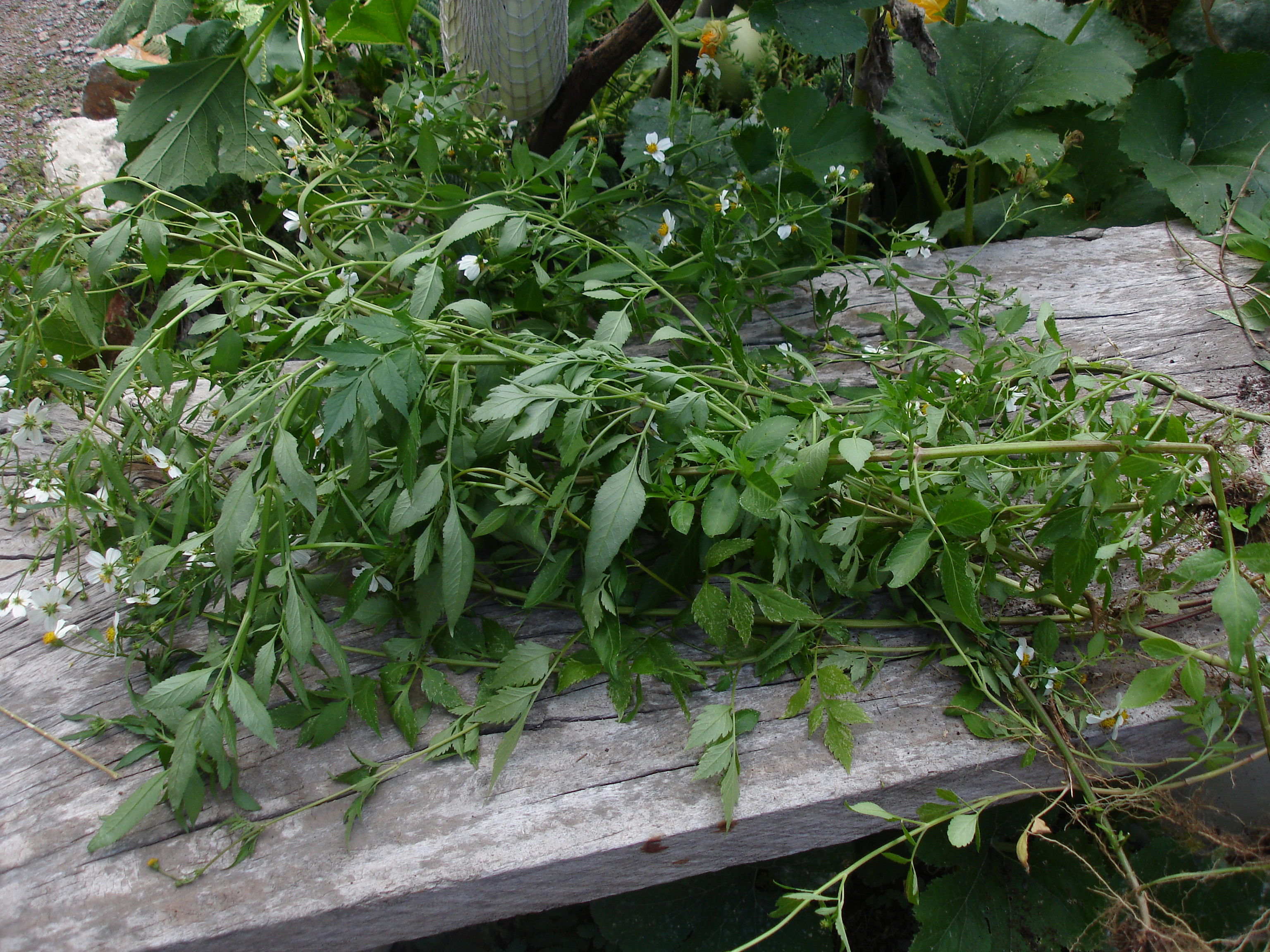 Weeds Not To Feed Chickens Stickweed