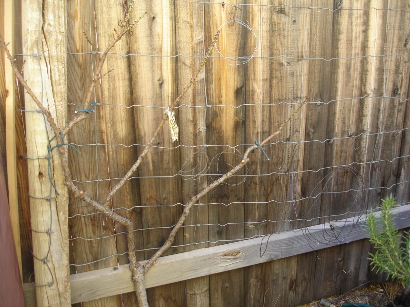 Dwarf peach tree gets its first pruning, espaliered against the fence.