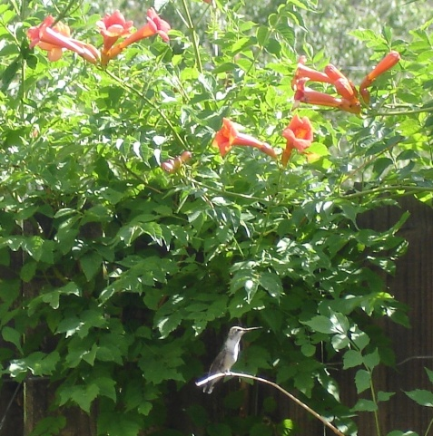Ruby Throated Hummingbird visits Home and Garden Inspiration