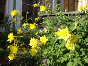 Columbines thrive next to (and hide) the plastic water container we keep full for birds - and hopefully for a little aquaculture one day!