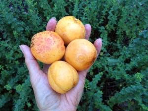 HUGE apricots!